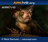 The aye-aye - a primate so unusual that people used to think it was a rodent!
