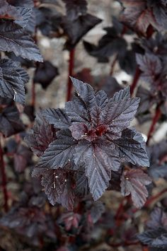 burgundy candy ninebark   Click to view full-size photo of Burgundy Candy Ninebark (Physocarpus ...