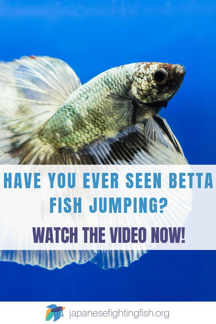 amazing jumping betta fish and aquarium fish betta