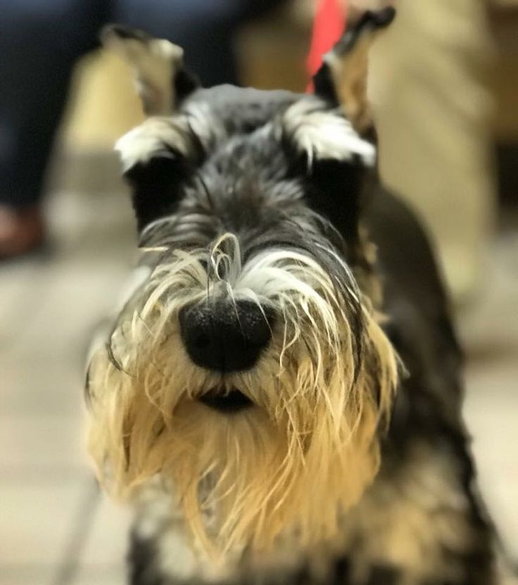 Charlie knows that everyday is a great day when everyday is a good hair day! ------------------------------------- #vets #vetmed #vettech #veterinarian #miniatureschnauzer #schnauzersofinstagram #beardgoals #haircut #dogs ------------------------------------- Check out the rest of our website at: www.pendervet.com
