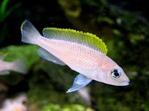 Lamprologus caudopunctatus *red fin* ESTABLISHED ** LAKE TANGANYIKA CICHLID ** at Aquarist Classifieds