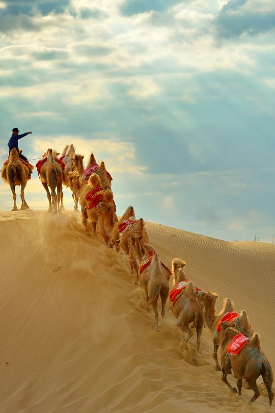.Camels going up the sand dune