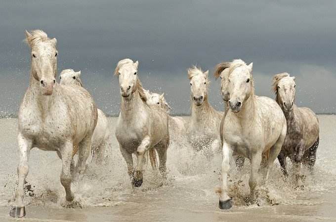 White Horses of The Camargue by Jenni Alexander -