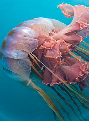 Lion's Mane Jellyfish - Capable of attaining a bell diameter of 8.2 ft, these jellyfish can vary greatly in size.  At 120 feet in length, the largest known specimen was longer than a blue whale and is considered one of the longest known animals in the world.