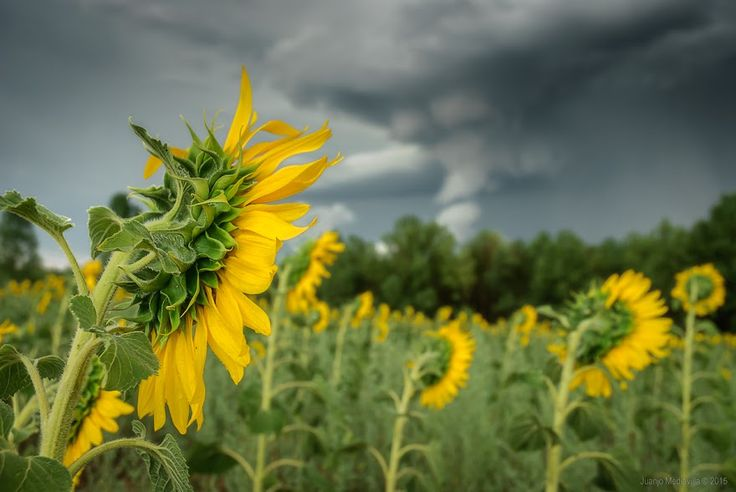 Girasoles bajo la tormenta ~ Fotografía Juanjo Mediavilla