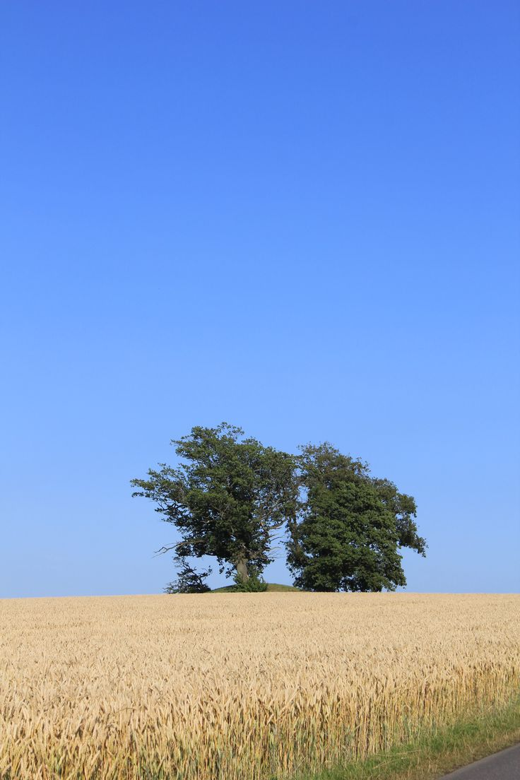 Cornfield and trees on a mound at Bornholm