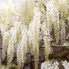 Glycine blanche du Japon
