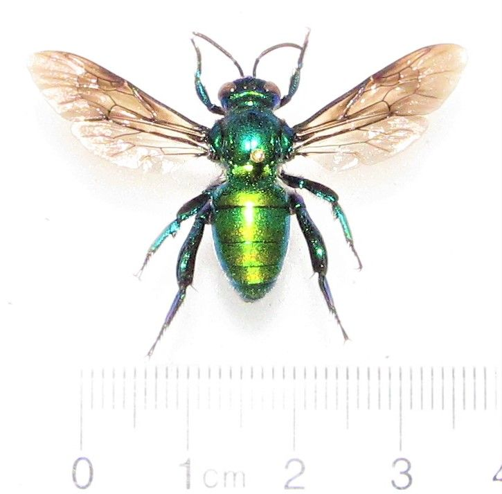 Euglossini Blue Green Orchid Bee Panama Green Orchid Bee Orchids