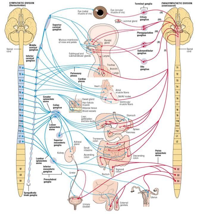 Neurology - Pre/Post Ganglionic; Sympathetic/Parasympathetic; Cholinergic/Adrenergic
