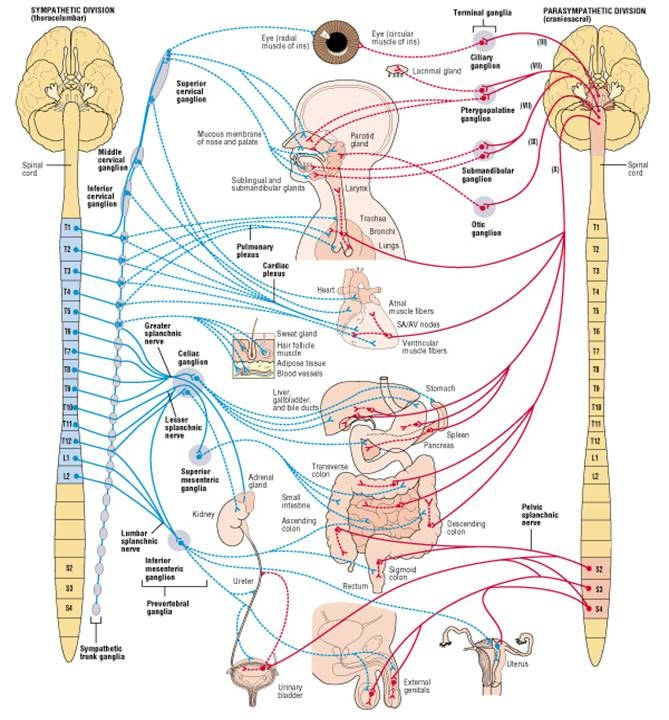 Neurology - Pre/Post Ganglionic; Sympathetic/Parasympathetic; Cholinergic/Adrenergic