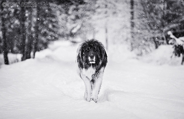 The Romanian Lion! Just joking, it's a Mioritic Shepperd, a Romanian breed of dogs that will fight in par with bears and wolves to protect his flock.  by Adrian Petrisor, via Flickr