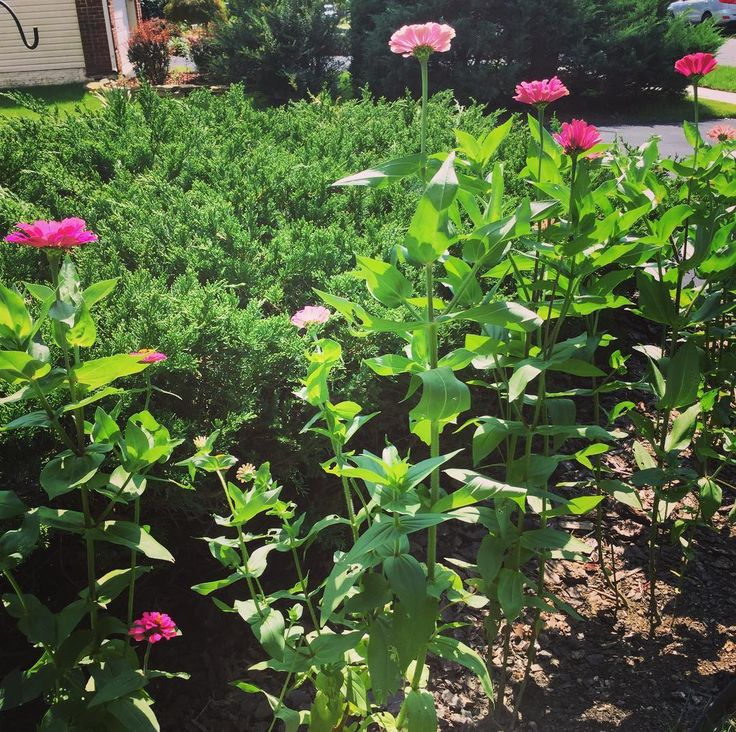 A Row of Big Zinnias! Look at this row of 3 - 4 feet tall #zinnia #zinnias! We have found that Zinnias are the easiest #flowers to #growfromseed #growfromseeds To learn #howtogrowfromseed #howtogrowfromseeds visit ... #garden #gardens #gardening #gardener #beginnergardener #beginnergardening #gardeningtips #gardeningtipsforbeginners #gardeninspiration #flower #flowers #flowerpic #flowerpics #flowerphotography #flowerphotograph #flowerphoto #flowerphotos #flowerphotographs #plant #plants…