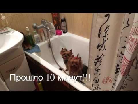Йоркширские терьеры принимают ванну...! - YouTube