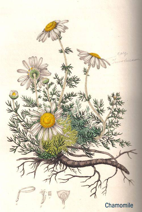 """Chamomile herb illustration. From Ed Smith's personal library: Stephenson & Churchill, """"Medical Botany"""": 1834-1836."""