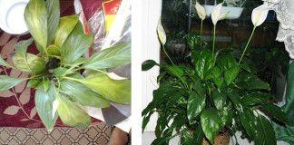 Geniální způsob jak zachránit uhynulé a chřadnoucí pokojové květiny!