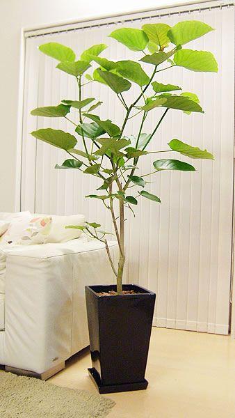 人気の観葉植物160cm 美しいウンベラータスクエアブラック陶器鉢仕立【観葉植物】【スタイリッシュ】【