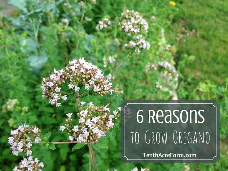 6 reasons to grow oregano types of herbs herb garden
