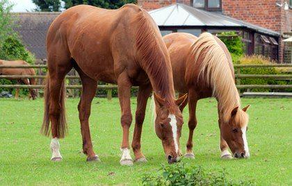 Insulin Sensitivity Compared among Breeds. Racen og typen er en faktor i EMS/insulin følsomhed, selv når hesten ikke er for tyk. Det lyder til at de amerikanske western racer inkluderes, samt ponier generalt, i dem der er mere sart, selvom de slet ikke er overvægtig! (artiklen nævner kun Quarter, men de andre er jo meget tilsvarende, også genetisk, og begge har en del quarter i blodlinierne)