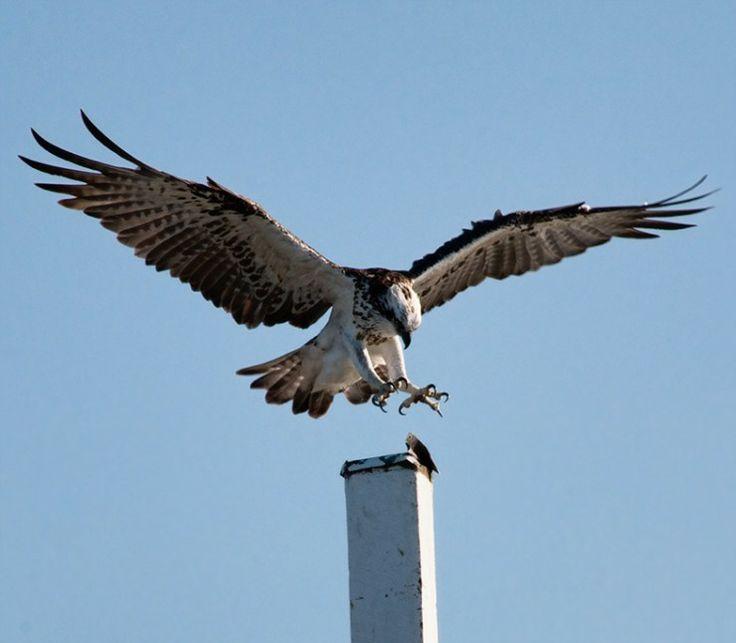 Osprey in Hervey Bay