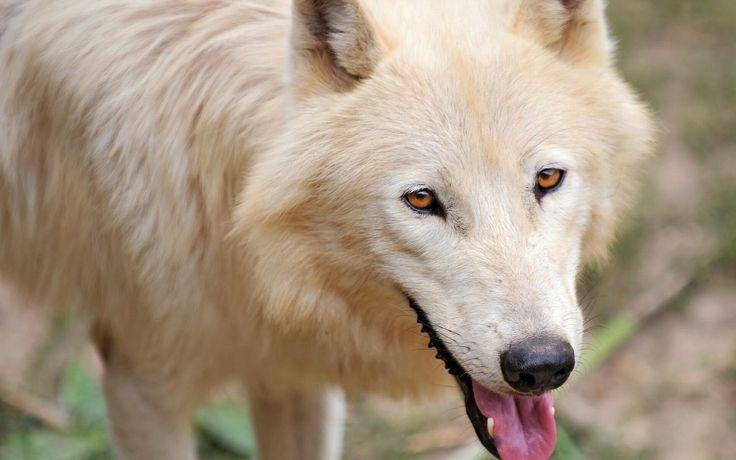 White wolf - Arctic wolf