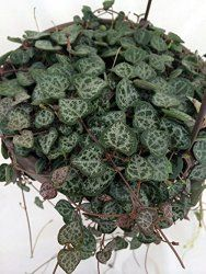 """Rosary Vine, String of Hearts Care Tips  ~ Ceropegia linearis woodii   Rosary Vine - 6"""" Hanging Basket Whether you call it Rosary Vine or String of Hearts, you'll be captivated by this charming house plant."""