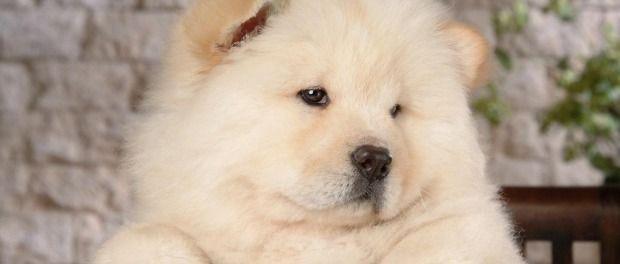 anak anjing Chow Chow