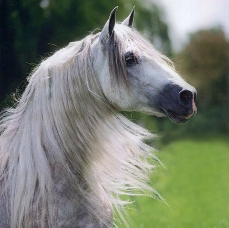 Andalusian Horse | Grey Spaniard Portrait, andalusian, grey, horses, spanish