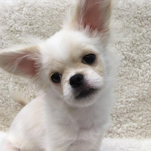 素敵なご家族にお迎えいただきました ペキチワちゃんです 幸せになってねー いつでも遊びに来てください ペッツファースト ペッツファースト大和店 仔猫 猫 かわいい ペット ペットショップ イオン イオンモール大和 大和 高座渋谷 Animals Bulldog