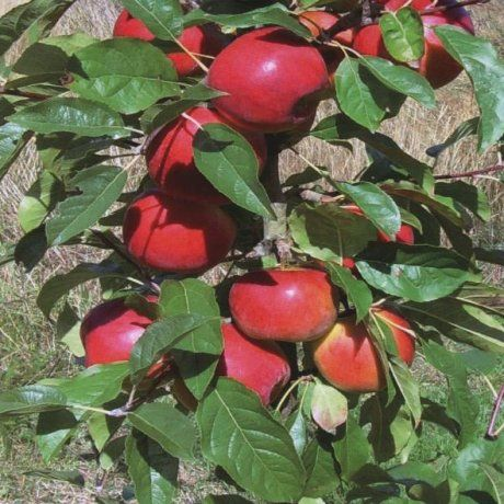 Apple Dayton (High Health) - Fruiting Apple | Southern Woods Excellent eating, large red apple, with crisp and juicy flesh and a mildly tart, well-balanced flavour. Resistant to black spot. Ripens February-March.