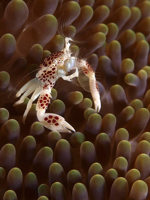 Anemone crab feeding on planktons is rarely seen by divers