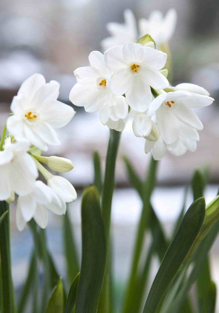 Narcissus 'Paperwhite Ziva': an early-blooming daffodil, producing white, star-like petals surround a small trumpet. Flowers in the winter and spring through January, February, March.