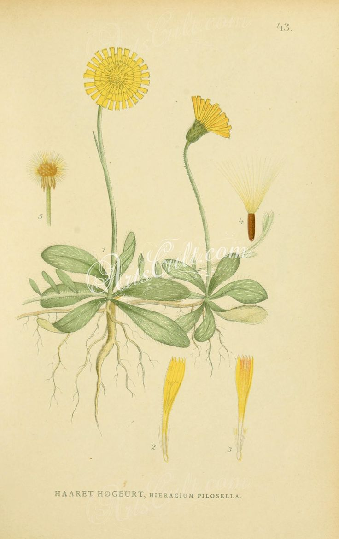hieracium pilosella      ...