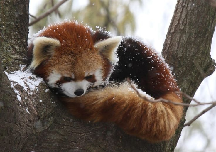 17 Reasons Red Pandas Are Earth-Shatteringly Cute