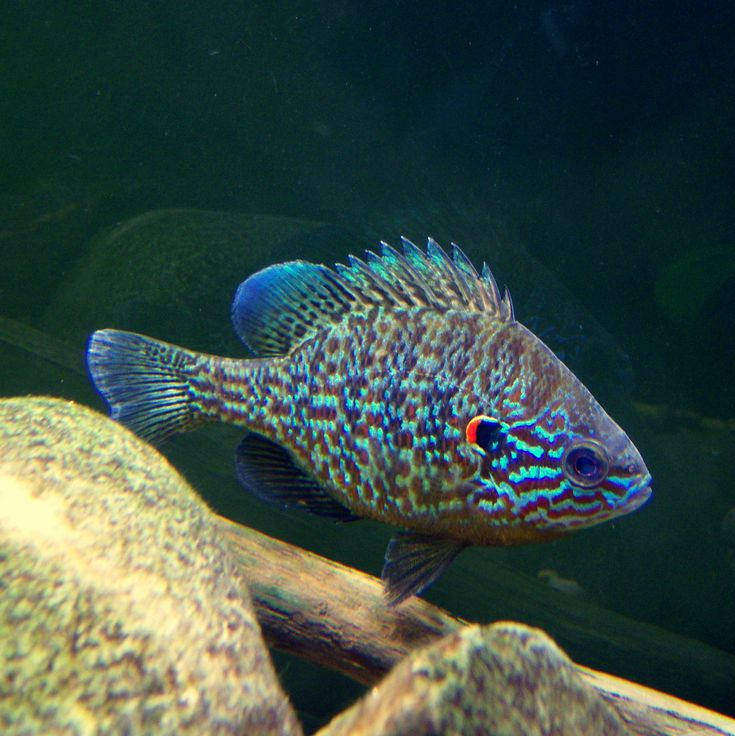 78 images about south and central american cichlids on for Fish native to florida