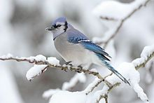 Wildlife of North Carolina - (looking forward to seeing these lovely birds again when we move back!)