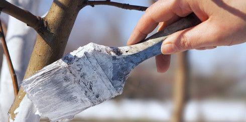 Побелка деревьев: когда, как и надо ли
