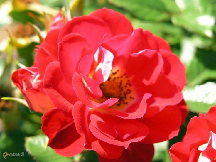 International Rose Test Garden – #Соединённые_Штаты_Америки #Орегон (#US_OR) Знаете ли вы, что Портленд (штат Орегон, США) также называют Rose City? Разведением роз здесь занимались, пожалуй, с самого основания города. А в 1917 году тут был основан International Rose Test Garden - огромный сад, предназначенный для тестирования различных сортов роз, выведенных в разных уголках мира. Этот сад, гордость жителей Портленда, пышно цветет и благоухает по сей день.  #достопримечательности…