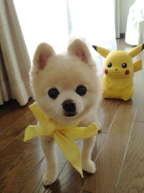 Gackt Boobiecakes Shiba Inu Pikachu Toy Puppy White Yellow