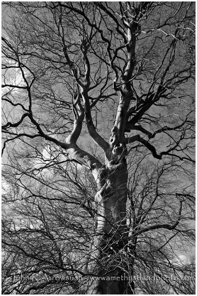 Waylands Beech. Waylands Mighty Beech, before the prune. They look different today, so never miss an opportunity to get images that change over time, once they change, it's gone forever.