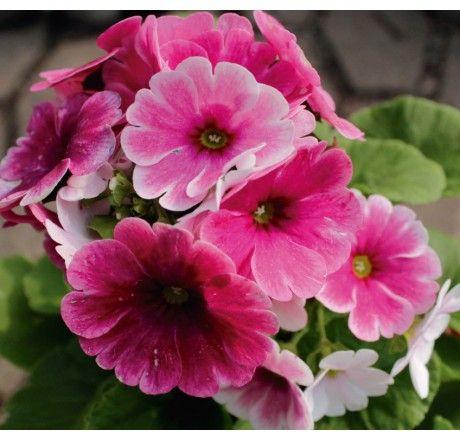 Planta Primavera Rosada
