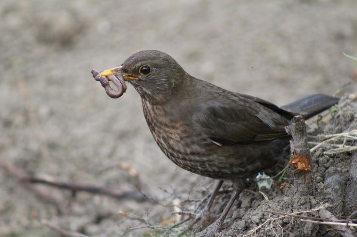 Hungry visitor Common Blackbird (Turdus merula) - Hladný návštevník Drozd čierny