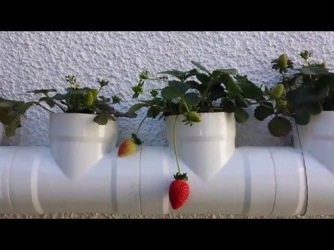 6 Awesome Reasons Why You Should Grow Your Own Strawberry Plants Strawberry Planters, Mini Cactus, Beautiful Fruits, Grow Your Own, Planter Pots, Grow Strawberries, Awesome, Plants, Gardening