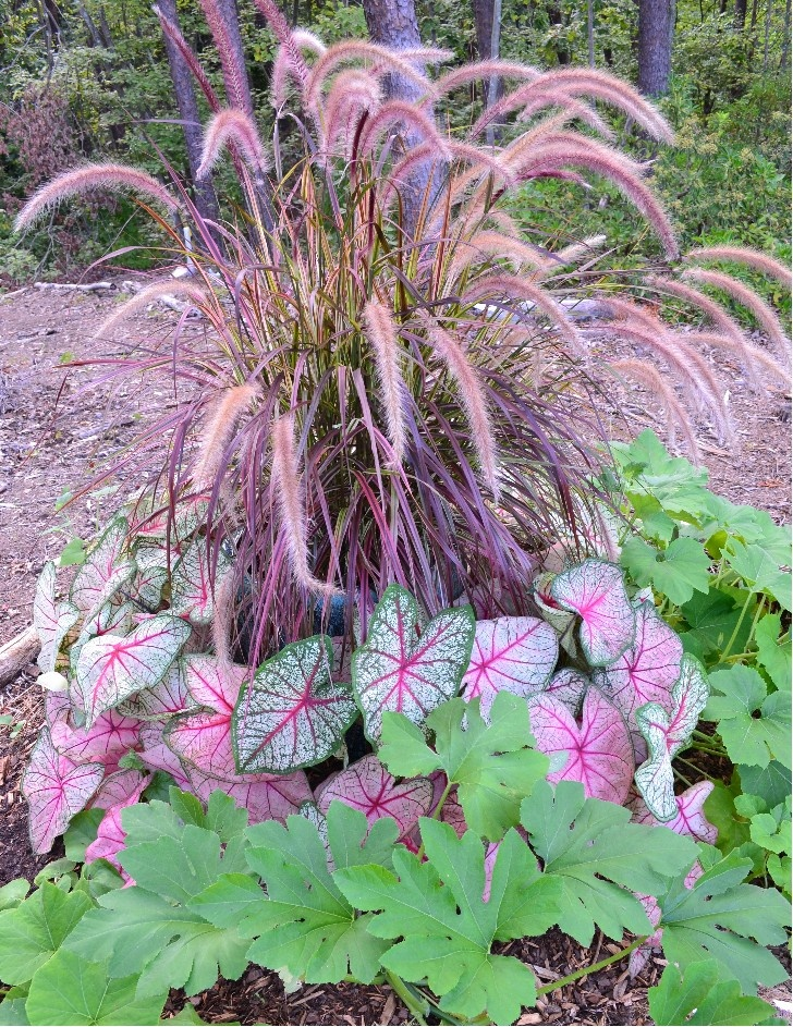 79 best images about fountain grass container on pinterest for Fountain grass for shade