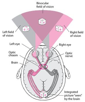 Structure and Function of the Eyes: Biology of the Eyes: Merck Manual Home Edition