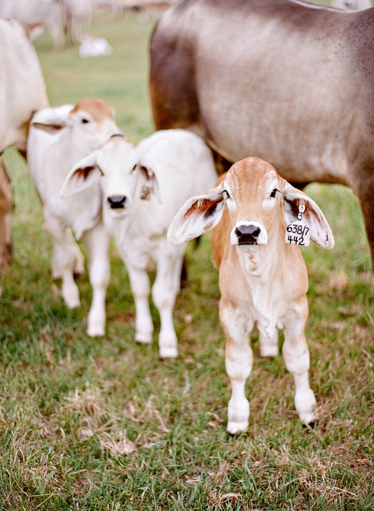 Best 25 Baby cows ideas on Pinterest Cute cows Baby