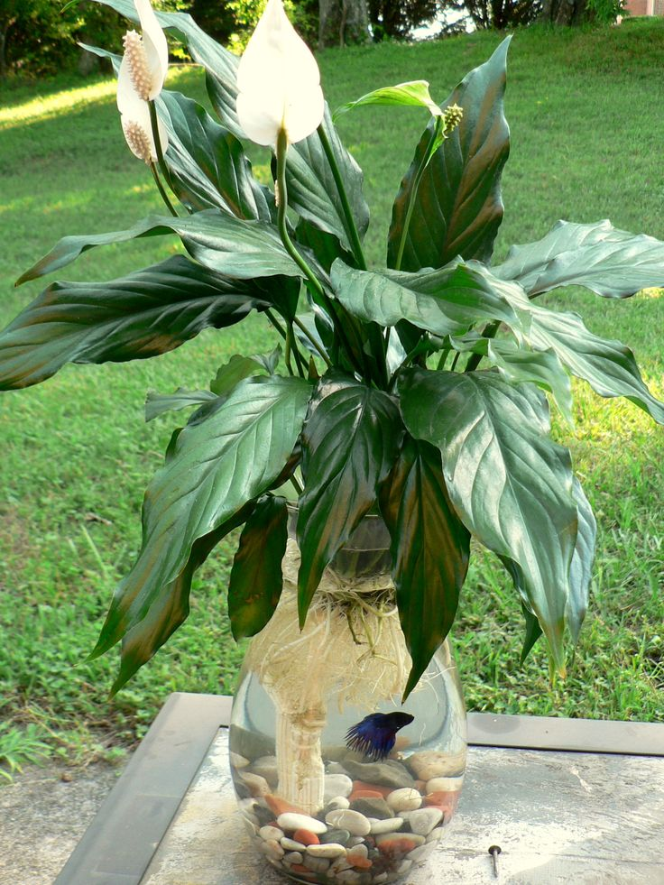 Betta Fish & Peace Lily Aquarium in a Vase