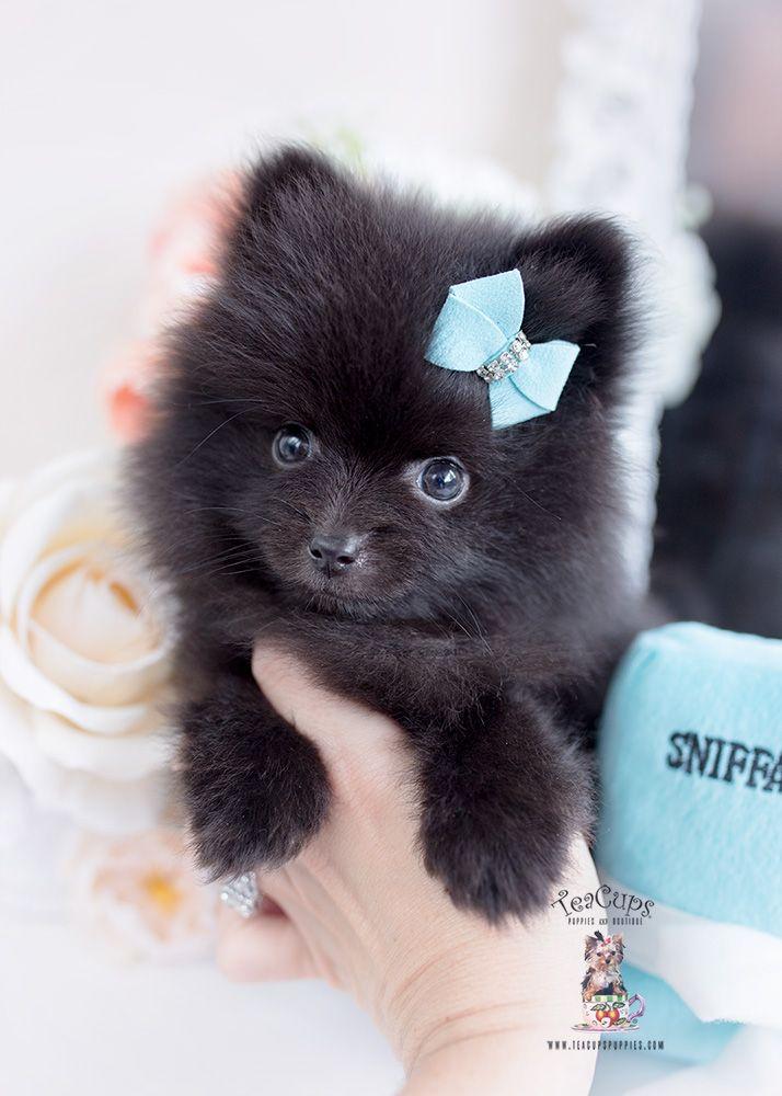 Black Pomeranian Puppy For Sale Near Me : black, pomeranian, puppy, Black-pomeranian-puppy-for-sale-388, Black, Pomeranian, Puppies,, Puppy,