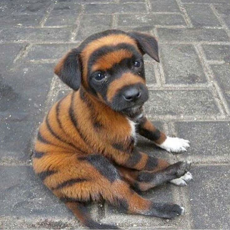 Incredible Markings♡ --- These are not INCREDIBLE MARKINGS. It is ANIMAL CRUELTY!!! The fur of this sweet puppy was dyed with toxic inks to make him look like a tiger cub in China. This puppy & many more ingest these toxic inks when they lick their fur. They become chronically ill & die a painful death a couple weeks later. This is a Chinese practice to make money. These people should be charged with animal cruelty.