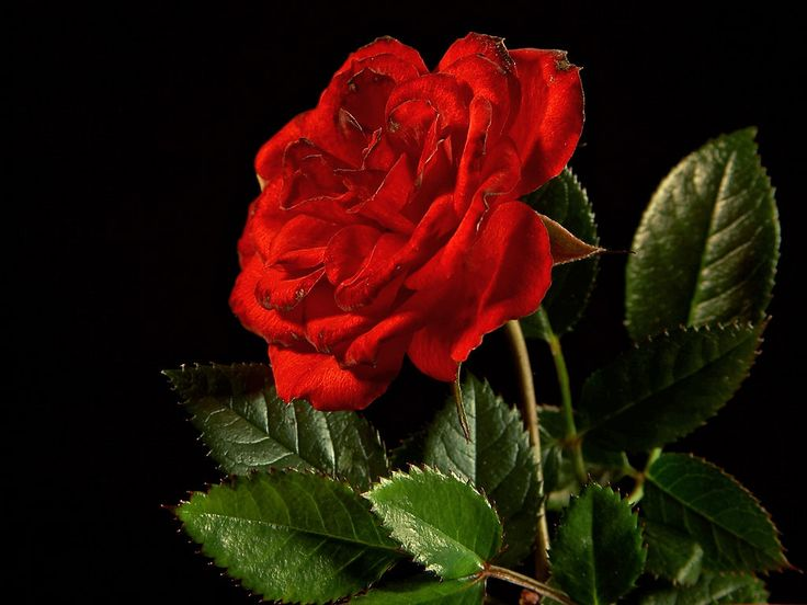 Awesome Mawar Flower Hd Wallpaper For Background
