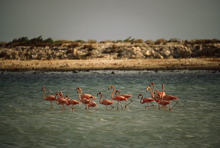 Flamingos standing and feeding in a pool near salt beds, Netherlands Antilles. Photograph by Volkmar K. Wentzel, National Geographic Creative
